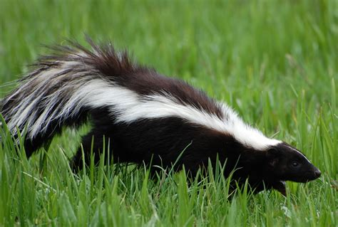 Skunk Smell In The House by De Skunk Your Homestead Focus