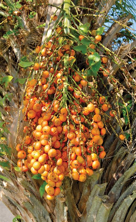 edible palm tree fruit tropical fruits of alabama alabama gardener web articles