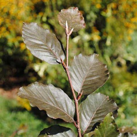 European Copper Beech (Fagus sylvatica 'Atropunicea')