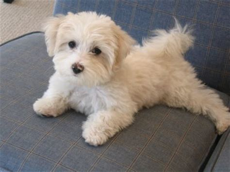 maltipoo puppy cut maltese haircut on maltese dogs maltese puppies and maltese