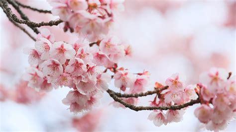 rosa blühende bäume 1716 die 93 besten hintergrundbilder handy blumen