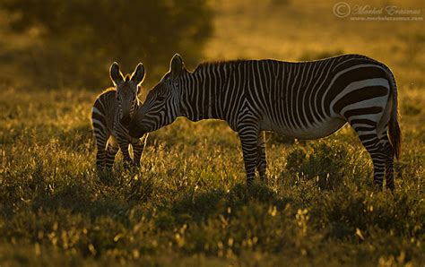 Zebra Lava L by Vote For The Best Photo Of The Week 30 Jan 2016 Focusing