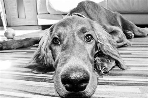 imagenes en blanco y negro en hd foto de un setter irland 233 s en blanco y negro hd