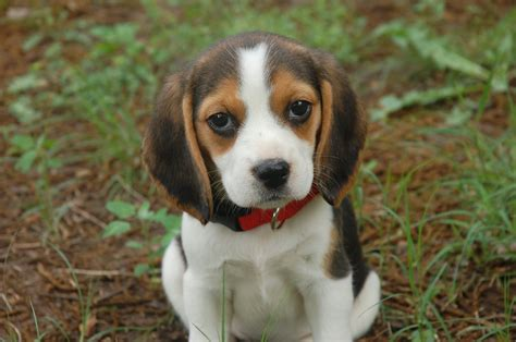 baby beagle puppies baby beagle puppies breeds puppies baby beagle puppies
