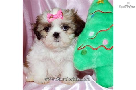 teacup puppies shih tzu cavachon hairstylegalleries