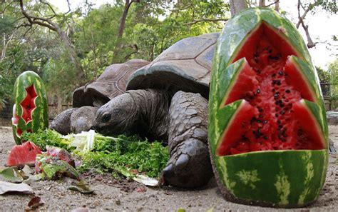 An Aldabra giant tortoise feasts on food treats
