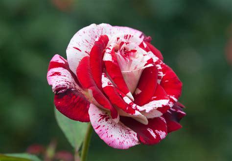 Min 25 Biji Benih Bunga In A Mist jual benih bibit bunga mawar batik maroon maroon batik