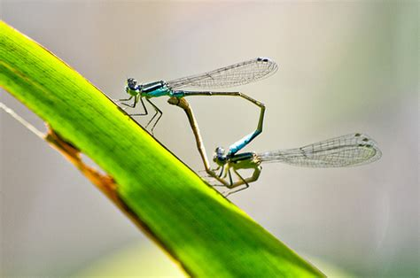 dragonfly mating season flickr photo sharing