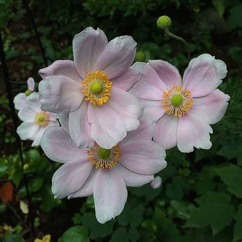 japanese windflowers anemone  hybrida nurseries