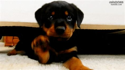 puppies gif rottweiler gifs find on giphy