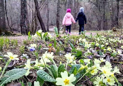 fiori di montagna primaverili 3 fiori primaverili che crescono in montagna e colorano