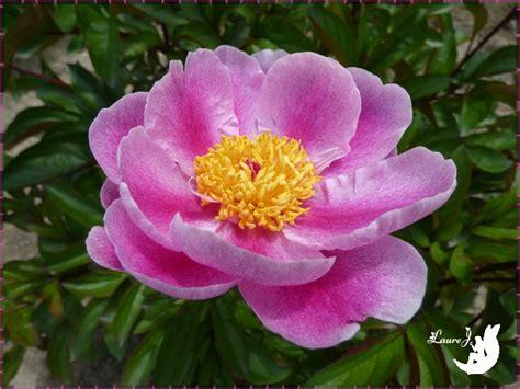 pivoine de chine fushia mon jardin du bonheur