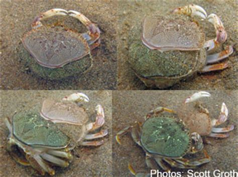 Crab Shedding by Cancer Magister