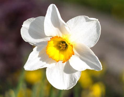 fiore bianco narciso fiore bianco 183 foto gratis su pixabay