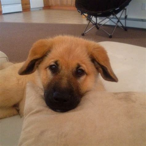 golden retriever chow mix temperament lab and chow mixed dogs breeds picture