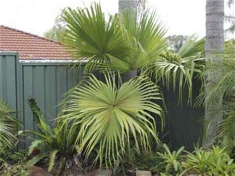fan palm growth rate plant index plants starting with l