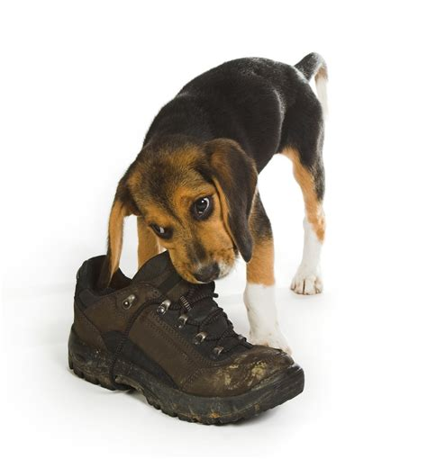 how to a to stop chewing shoes how to get a to stop chewing shoes pitbull puppies for sale in michigan