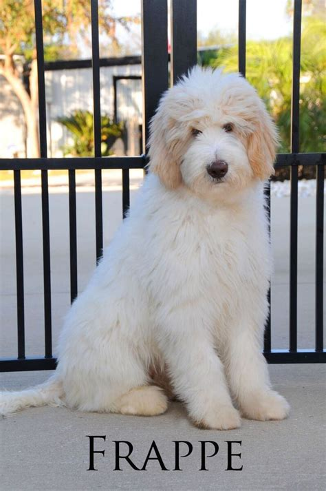goldendoodle puppy coat transition best 25 goldendoodle grooming ideas on puppy care grooming tips and