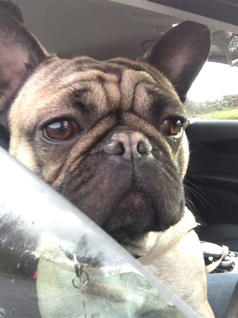 bulldog cross pug bulldog cross pug for rehome norfolk pets4homes
