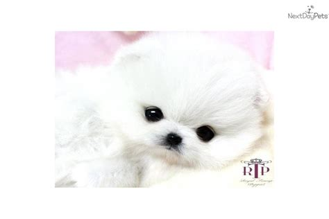 white micro teacup pomeranian puppy teacup pomeranian puppies for sale durban dogs puppies