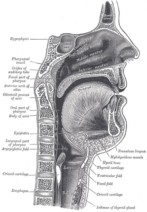 human body section illustrations fig 994 gray henry 1918 anatomy of the