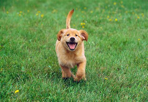 golden retriever puppies running puppy animal stock photos kimballstock