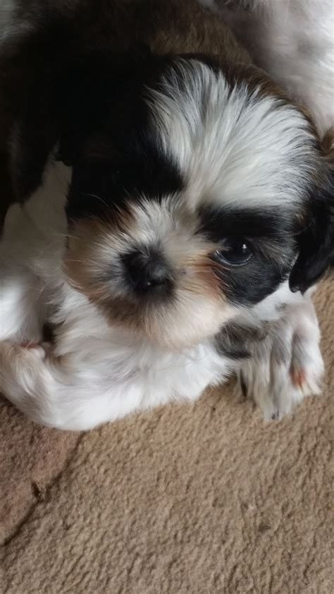 shih tzu puppies for sale dorset adorable shih tzu puppies for sale bournemouth dorset pets4homes