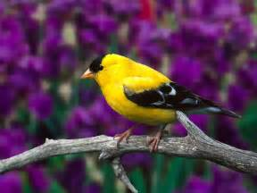 canary color canary the utility bird turned pet animals wiki