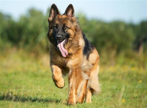 german shepherd size german shepherd breed standards size characteristics and coats german