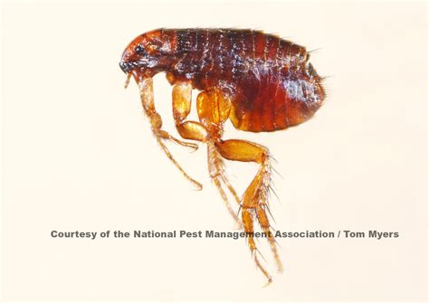 flea facts for flea pest information for students