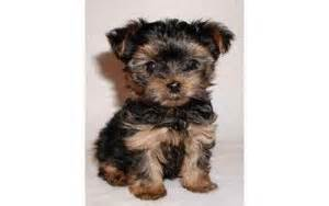 teacup yorkies for sale in augusta ga pets augusta ga free classified ads