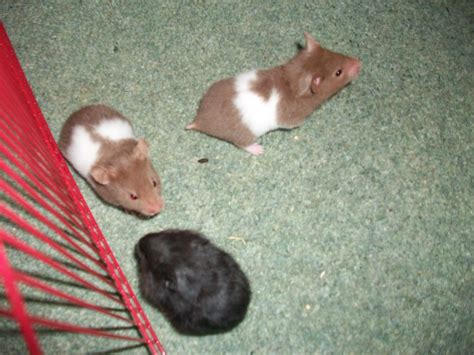 chocolate long haired syrian hamster