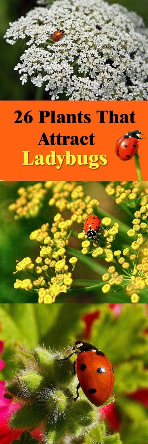 where to find ladybugs in your backyard 52 best ladybugs images on pinterest lady bugs beetles