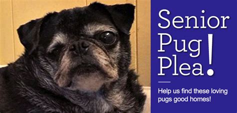 precious pugs rescue and adoption senior pug adoption plea