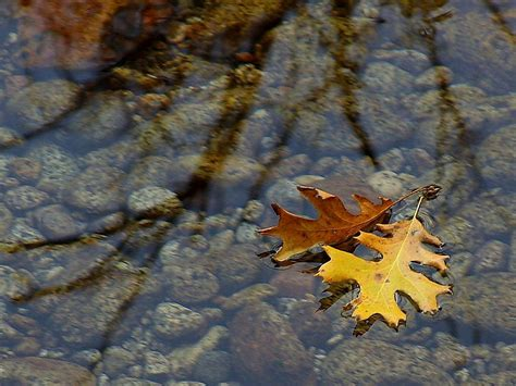 picture leaf leaves streams water reflections