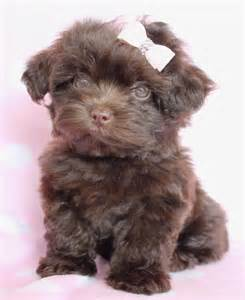 designer puppies for sale designer breed puppy for sale pets