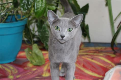 Royal Blue Cats royal blue cats and kittens for sale in the us