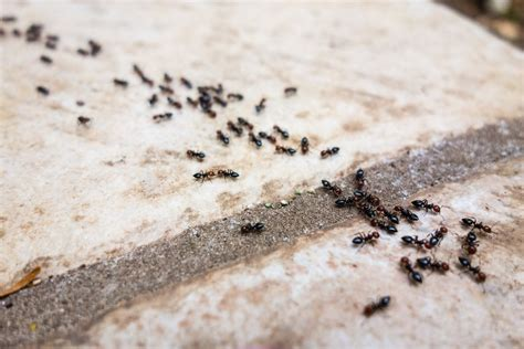 where do ants come from in the bathroom how do ants defend themselves from their enemies