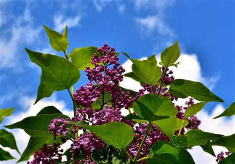 Harga Bibit Daun Ungu tanaman daun ungu daftar update harga terbaru dan