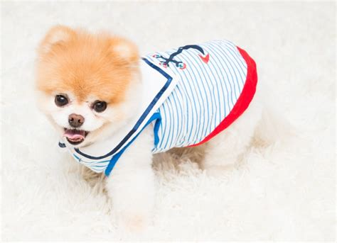 why do pomeranians lose their hair boo buddy the coveteur coveteur