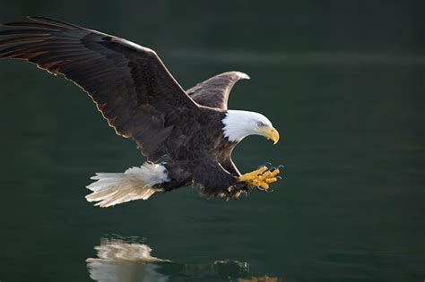 Fish Duvet Cover Bald Eagle Catching Fish Photograph By John Hyde