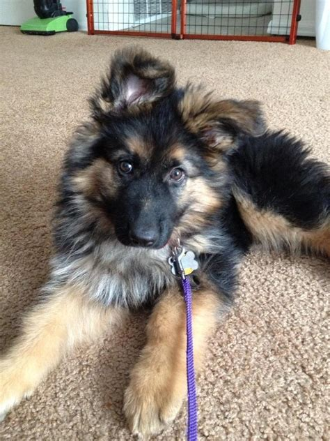 fluffy german shepherd puppy fluffy german shepherd puppy puppies