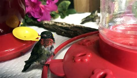 best 25 hummingbird sugar water ideas on pinterest