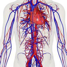 circulatory system wikipedia