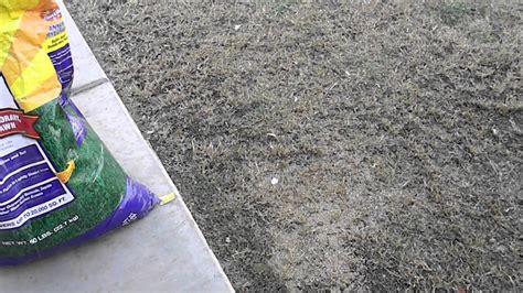 how to plant winter grass how to plant winter grass