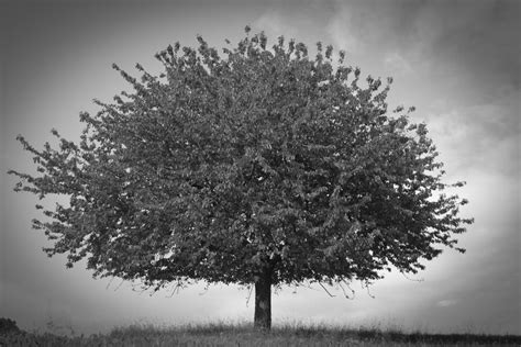 black and white tree by thelittelworld on deviantart