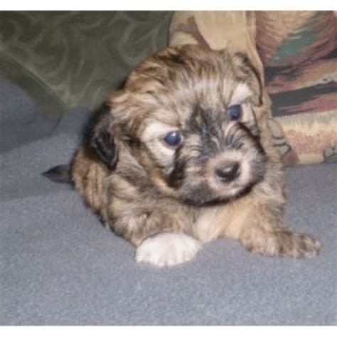 havanese rescue new york nyc havanese havanese breeder in woodhaven new york 11421 freedoglistings id