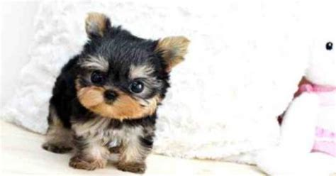 yorkies cheap cheap yorkie puppies dogs our friends photo