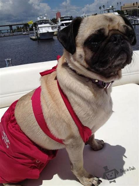 pug swimsuit pug dogs in duds for dogs who like to dress up