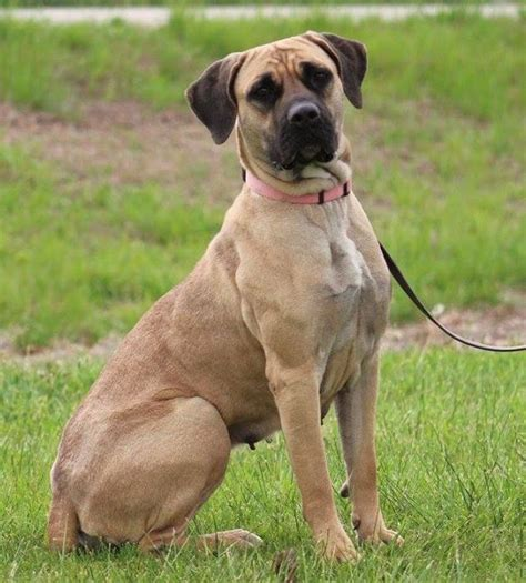 adoption maryland 100 best ideas about boerboel rescue on in august adoption and dna